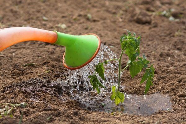 Сорт томата Хохлома любит обильный, но редкий полив