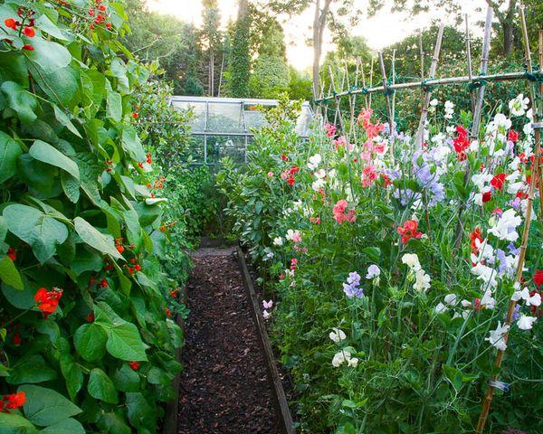 Выращивание душистого горошка в открытом грунте 5