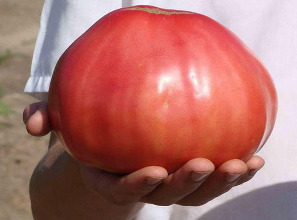 Средний вес плодов - 400 грамм, но нередко они вырастают весом до 1 кг