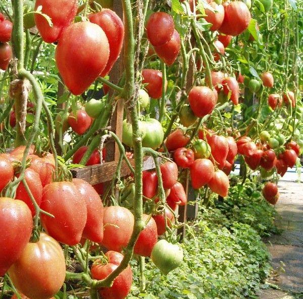 Кусты помидор очень высокорослые и нуждаются в подвязке