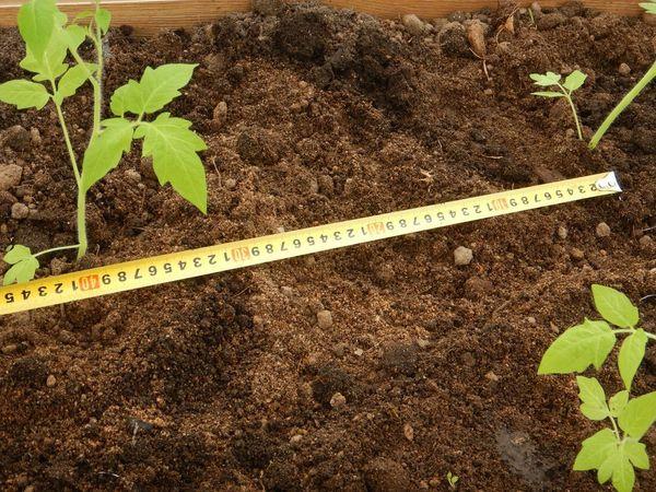 Высадка рассады в грунт производится по схеме 50 на 60 см