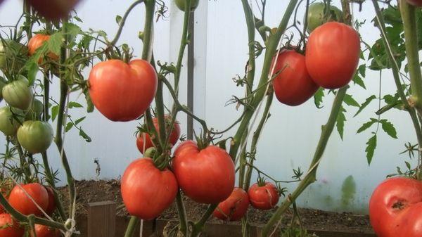 Средняя урожайность - 15 кг с 1 кв.м.