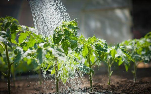 Полив производится исключительно теплой водой