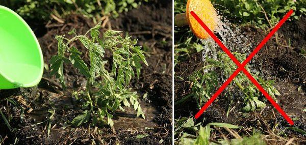 Поливать рассаду необходимо строго под куст