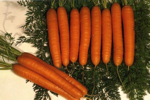 Сорт моркови Королева осени: описание и характеристики, посадка и уход