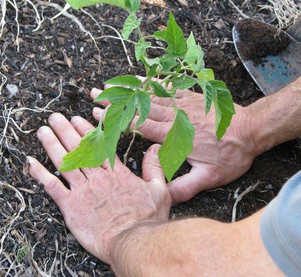 Пересадка рассады осуществляется через 55 дней после посева семян