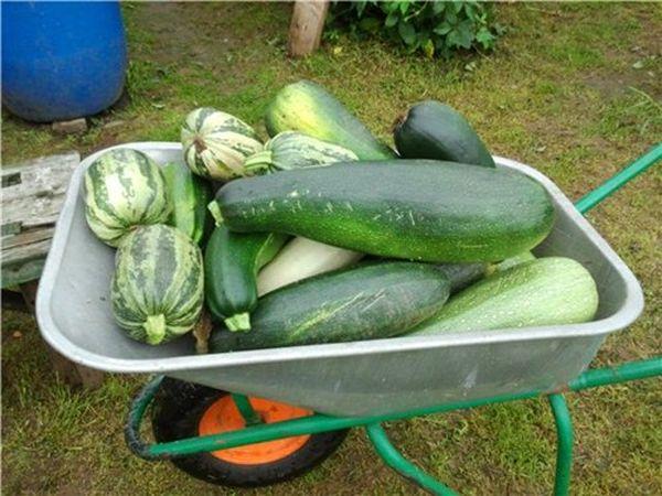 Чтобы получить хороший урожай - нужно подбирать сорт согласно характеристикам