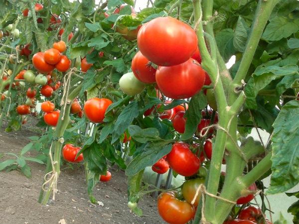 Выращивание томатов в Краснодарском крае