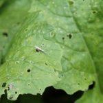 Капустная муха и капустная моль