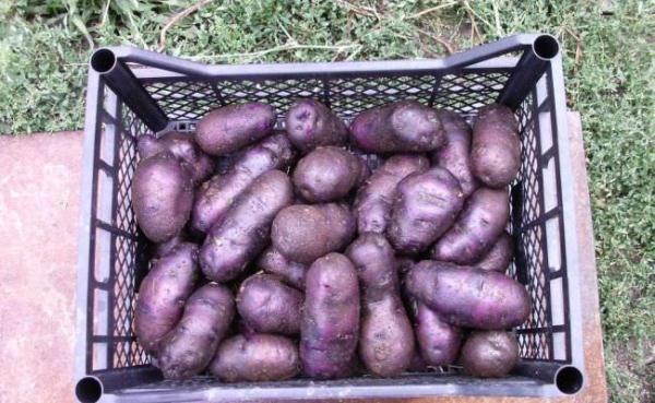 Правильно пророщенный посадочный материал фиолетового картофеля обеспечит быстрые, равномерные всходы и раннее завязывание клубней