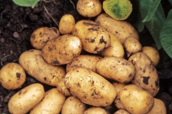 Описание и характеристики сорта картофеля Адретта, советы по посадке и уходу