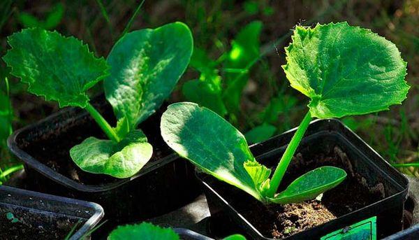 Рассаду Кавили высаживают в грунт в возрасте 30 дней