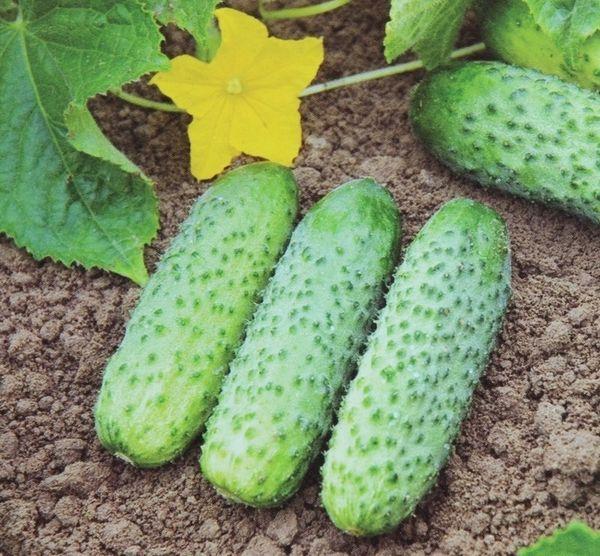 Сорт Кибрия обладает очень высокой урожайностью