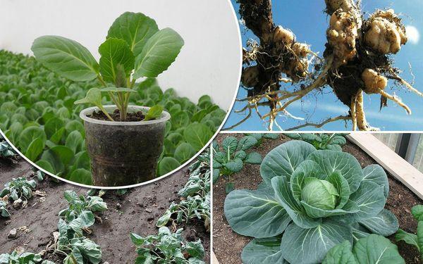Кила капусты что делать чтобы защитить растение