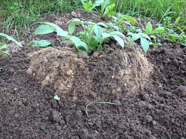 Выращивание картофеля по китайской технологии
