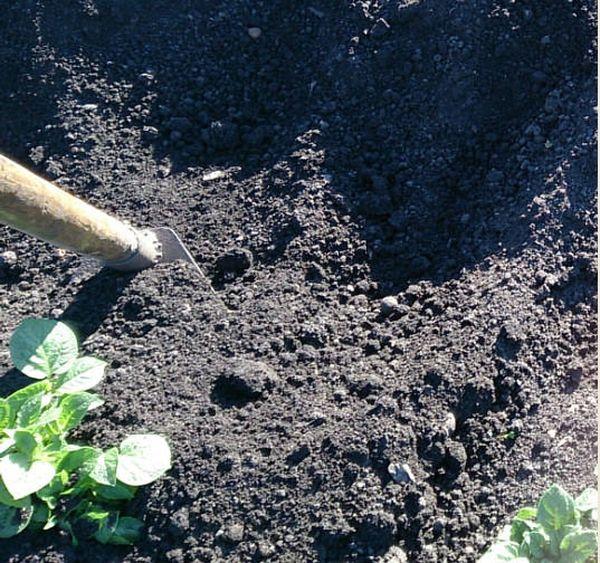 С момента посадки и до уборки необходимо подсыпать землю под куст