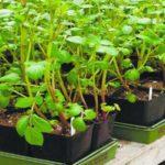 Альтернатива китайскому методу - выращивание картофеля в ящиках