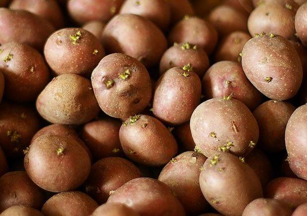 Корнеплоды картофеля для посадки должны быть размером с куриное яйцо