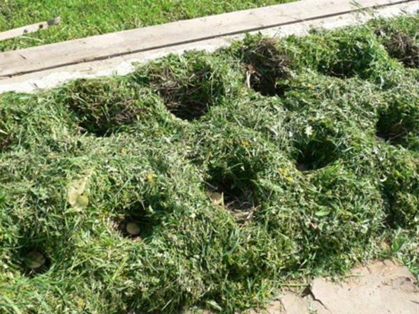 Почву перекапывать не нужно, клубни раскладывают прямо на сорняки