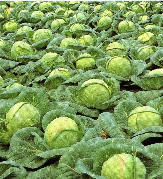 Общие характеристики капусты сорта Колобок