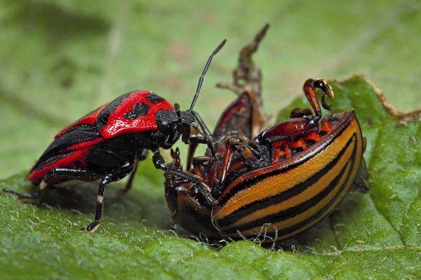 Клоп Периллюс поедает колорадского жука