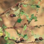 Чаще всего жук поедает листья картофеля