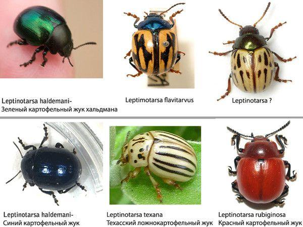 Похожие жуки