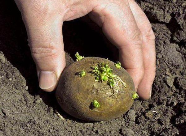 Обработка клубней картофеля средством Командор