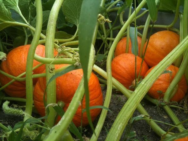Для получения плодов крупных размеров плети прищипывают, оставляя нужное количество завязей