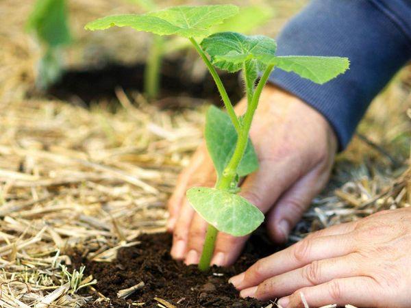 Рассаду высаживают в грунт при появлении 2-3 настоящих листочков