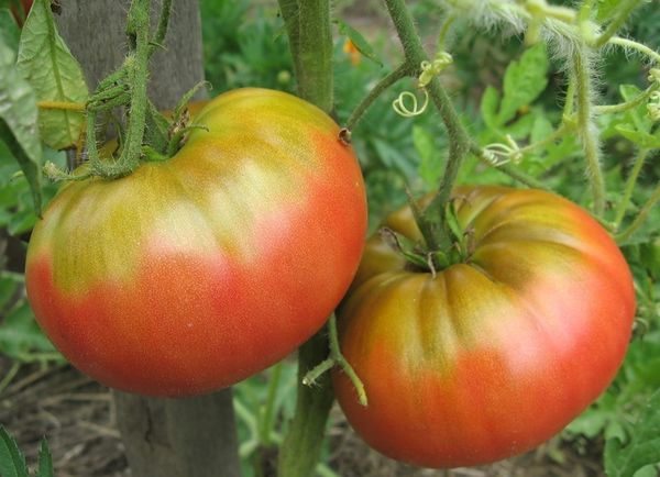 Плоды имеют необычную форму и их средний вес составляет 350-500 грамм