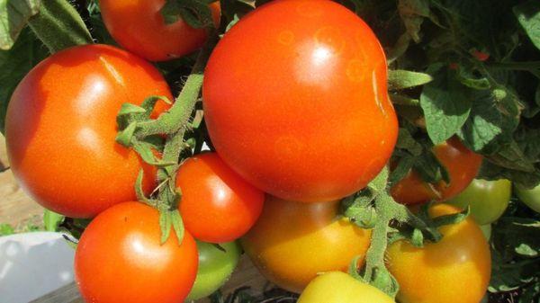 Размеры томатов маленькие, около 60-70 грамм