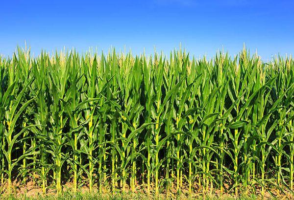 Посев кукурузы