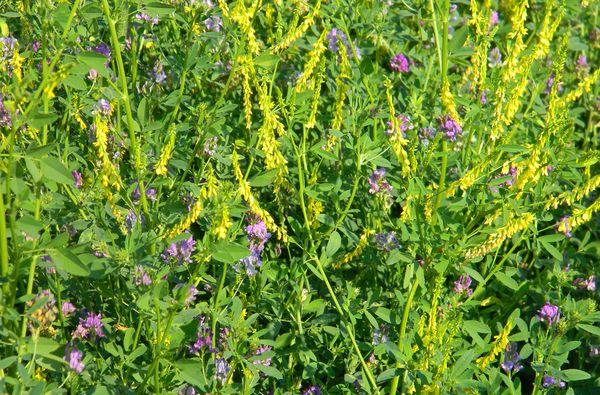 Кукуруза дает хорошие урожаи на паровых полях, где росла люцерна