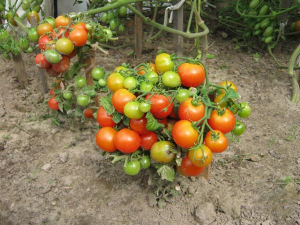 Что такое штамбовые помидоры?