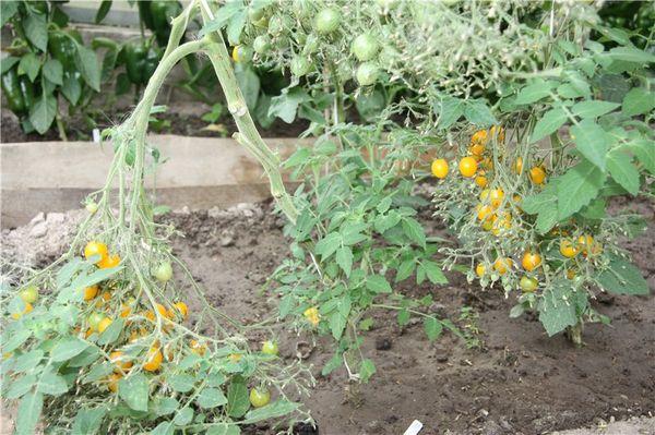 Особенности плодоношения сорта