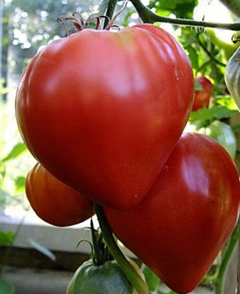 Раннеспелый сорт томата Лентяйка
