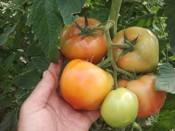 Один из недостатков - возможный неоднотонный окрас кожуры плодов