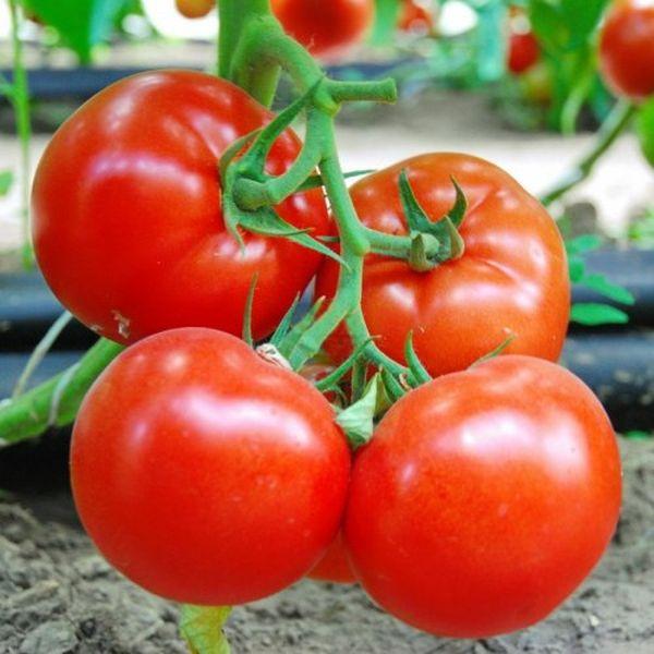 Сбор урожая производится в конце августа-начале сентября