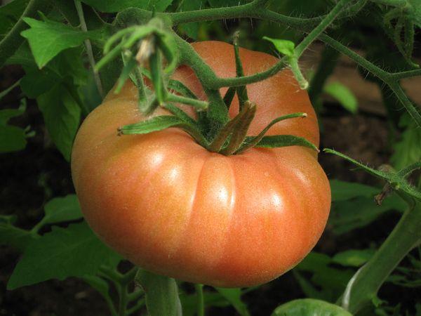Средний вес плодов сорта - 200-300 грамм
