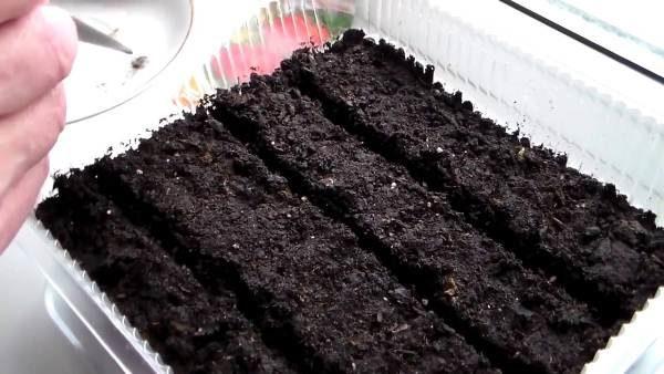Посадка семян томата Мазарини на рассаду в лоток