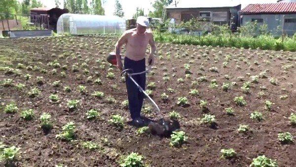 Прополка картофеля мотокосой
