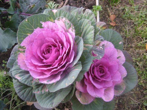 Цветущая декоративная капуста крупным планом