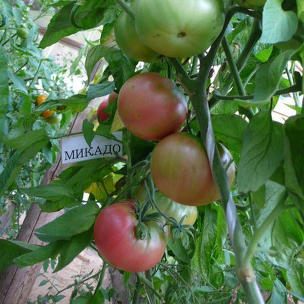 На севере сорт лучше выращивать в теплице, на юге - в открытом грунте