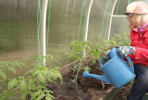 Полив томата Микадо осуществляется по мере высыхания почвы