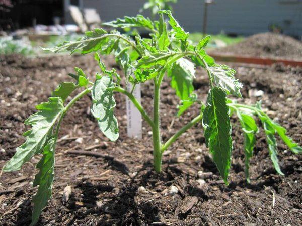 При пересадке в грунт саженцы нужно заглублять до семядольных листочков