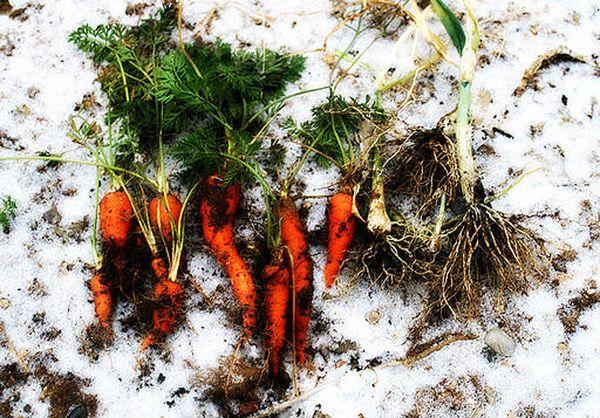 При подзимней посадке урожай моркови будет более качественным