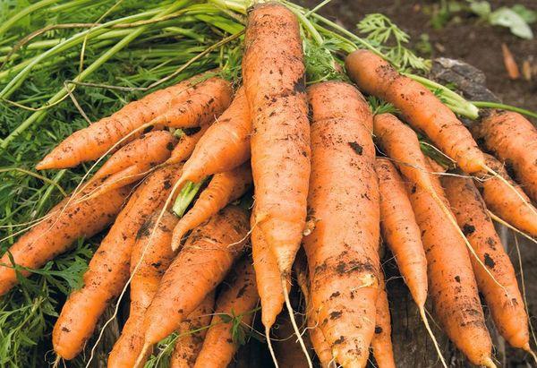 На торфяных почвах морковь будет крупной и правильной формы