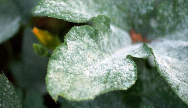 Вянут листья или мучнистая роса