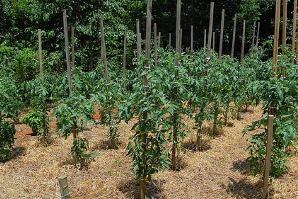 Особенности ухода за помидорами